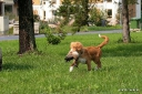 4 months old Peppe retrieving